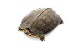 South American wood turtle Stock Image