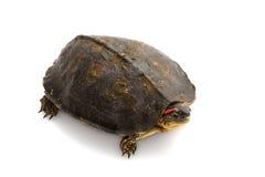 South American wood turtle. (Rhinoclemmys punctularia) isolated on white background Stock Images