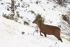 South Andean Deer Stock Images