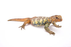 South Arabian Spiny-tailed Lizard (Uromastyx yemenensis) Stock Images