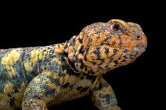 South Arabian Spiny-tailed Lizard (Uromastyx yemenensis) Stock Image