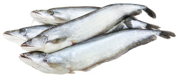 South Asian Boal fishes Stock Images