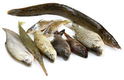 South Asian fishes Royalty Free Stock Images