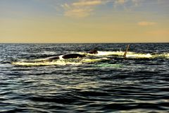 South Right Whale. South Atlantic, Argentina, Chubut Province, Valdez Peninsula, Península Valdés ,Nature Reserve, Puerto Madryn,South Right Whale,a vast Royalty Free Stock Images