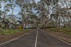 South australia road inside in eucalyptus forest Stock Photo