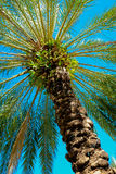South Beach Palm Tree. Beautiful tall palm tree on Lincoln Road in Miami Beach stock photography