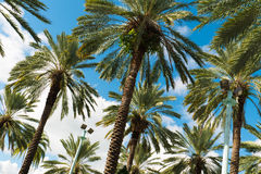 South Beach Palm Trees Royalty Free Stock Photography