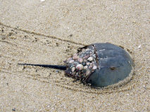 South Bethany the Horseshoe crab on a sand 2016 Royalty Free Stock Photography