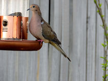 South Bethany Mourning Dove 2016. Mourning Dove in South Bethany Delaware, 24 April 2016 USA Royalty Free Stock Photo