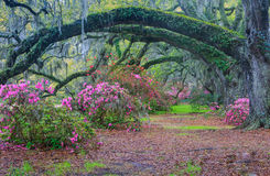 South Carolina Arching Oak Trees Moss Pink Azaleas. Arched live oak trees with hanging moss over a pathway through a southern garden of colorful spring blooming Royalty Free Stock Images