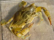 South Carolina Female Blue Crab. An up close view of a South Carolina Blue Crab royalty free stock photography