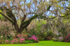 Azaleas And Dogwood Bloom In Forest Understory Royalty