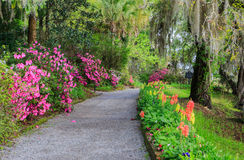 South Carolina Garden Walkway Flowers Azaleas. A walking garden trail at Magnolia Plantation bordered by pink azaleas and colorful gladiolas under live oak trees Royalty Free Stock Photography