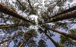 South Carolina long leaf pine. Pinus palustris , also known as longleaf pine is native to the southeastern united states . Over the years these trees have been stock photo