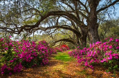 South Carolina Spring Flowers Charleston SC Lowcountry Scenic. Nature Landscape with blooming pink azaleas and live oak trees with spanish moss Royalty Free Stock Photography