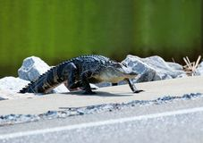 South Carolina wildlife nature background. American alligator preparing for crossing the road between marshes at the Huntington Beach State Park, Litchfield stock images