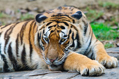 South China Tiger. A south China tiger is staring front Stock Images