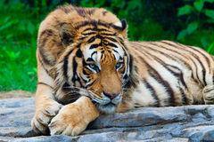 South China Tiger. A siberian tiger is staring front Stock Photo