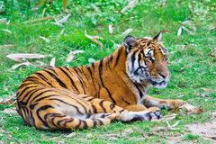 South China tiger Royalty Free Stock Photo