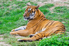 South China tiger. A south China tiger is groveling on the grassplot Royalty Free Stock Photography