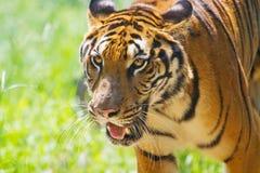 South China tiger walking 2 stock images