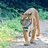 South China tiger walking 3 Stock Photography