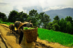 South China, Yunnan - 2011: Rice terraces Stock Photo