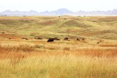 South Dakota Buffalo grazing Royalty Free Stock Image