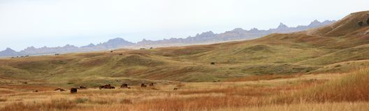 South Dakota Buffalo panorama. Rural South Dakota prairie region with grazing Buffalo in badlands area Royalty Free Stock Images
