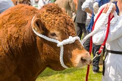 A South Devon bull at a show. A South Devon bull on display at a traditional country show stock photos