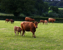 South Devon Cattle Stock Image