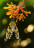South East Asian Tree Nymph Butterfly Stock Photo