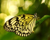South East Asian Tree Nymph Butterfly Stock Photos
