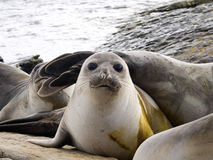 South Elephant Seal, Mirounga leonina, Souders Island, Falkland  - Malvinas. The South Elephant Seal, Mirounga leonina, Souders Island, Falkland  - Malvinas Stock Images