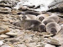 South Elephant Seal, Mirounga leonina, Souders Island, Falkland  - Malvinas. The South Elephant Seal, Mirounga leonina, Souders Island, Falkland  - Malvinas Stock Photo