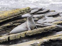 South Elephant Seal, Mirounga leonina, Souders Island, Falkland  - Malvinas. The South Elephant Seal, Mirounga leonina, Souders Island, Falkland  - Malvinas Royalty Free Stock Images