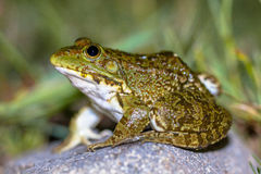South European Levantine water frog Royalty Free Stock Images