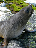 South fur seal on the rocks Stock Photos