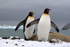 South Georgia (Antarctic). King penguins at Fortuna Bay Stock Photo