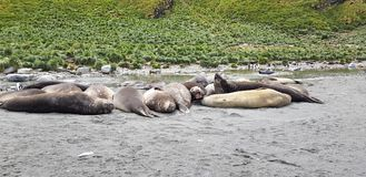 South Georgia 2018. South Georgia sea lions resting travel paradise expedition wild nature wild animals royalty free stock photography