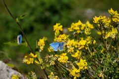 Blue crimean butterflies in front of yellow flowers royalty free stock photos