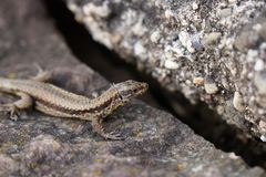 Brown lizard with stripe sitting on stone royalty free stock images