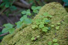 Clover growing through moss in black forest stock images