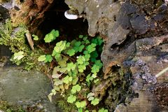 Clover growing on rock stock photo