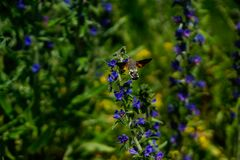 Hawk moth flying like a hummingbird in front of flower royalty free stock images
