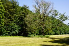 Summer meadow with single oak tree and forest stock photography