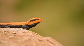 South Indian rock agama closeup. On mountains with green backdrop Royalty Free Stock Image