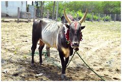 South Indian village bull stock image