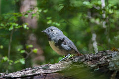 South Island Robin Royalty Free Stock Photo