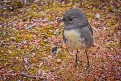 South Island Robin in Nelson lakes National park in NZ. Birds of New Zealand, birdwatching stock photo